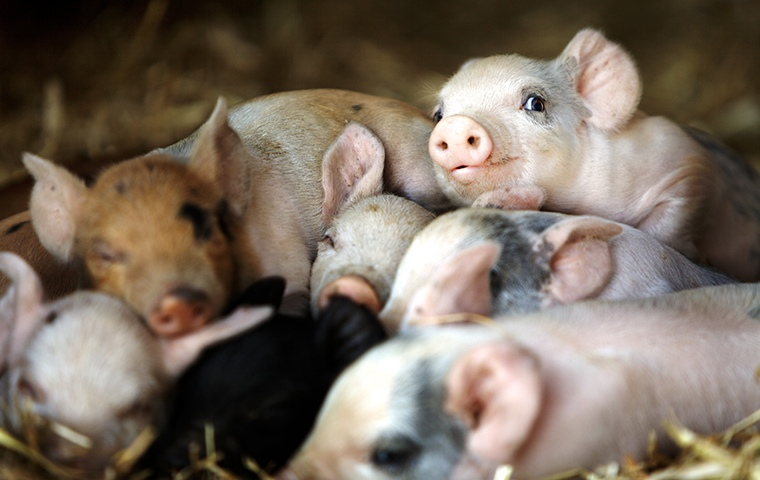 pile of baby piglets