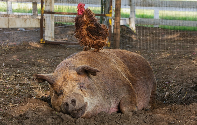 fat pig sitting in mud with red chicken standing on top