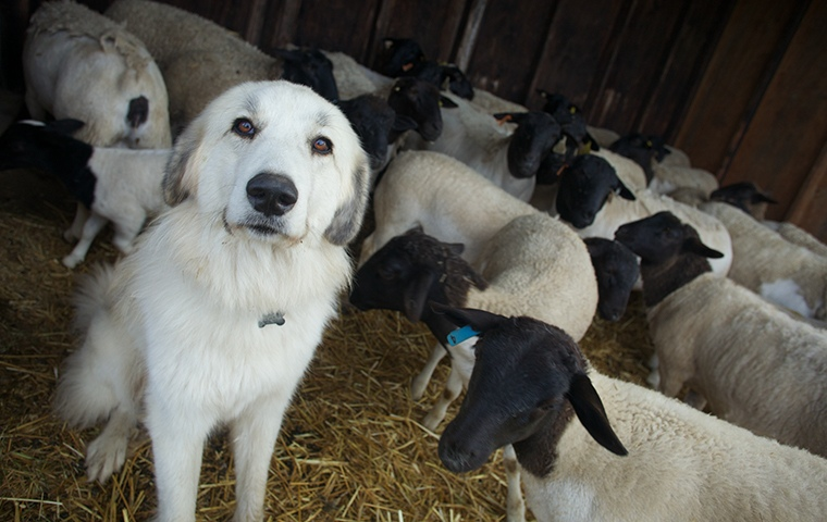 white sheepdog sitting in front of black faced sheep