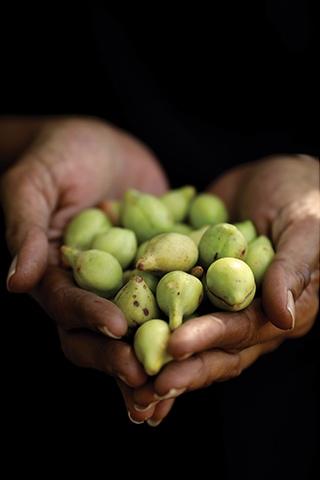 hands holding green kakadu plums
